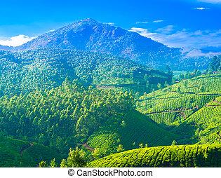beautiful landscape of the tea plantations in India