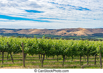 Beautiful landscape of vineyard and picturesque sky