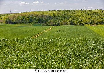 Beautiful landscape with a green wheat