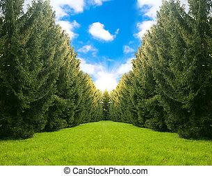 beautiful landscape with fir trees.