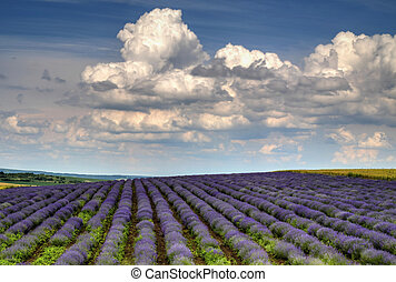 Beautiful landscape with fresh lavender field
