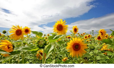 sunflower field - Beautiful landscape with sunflower field...
