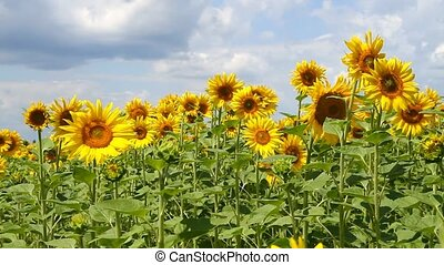 Beautiful landscape with sunflower field over cloudy blue...