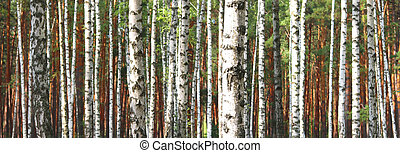 Birch trees trunks