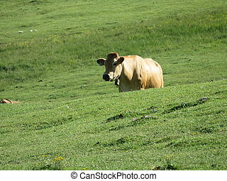 Beautiful large cows and well nourished by the green pastures of the mountain