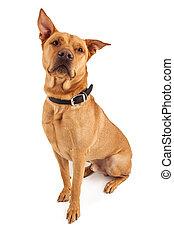Beautiful Large Crossbreed Dog - A handsome large Labrador...