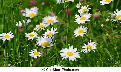 Beautiful large daisies with white petals
