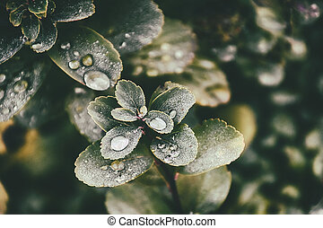 large green bush leaves with drops after summer rain forming...