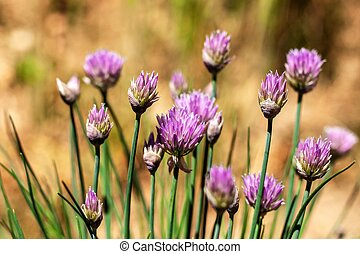 Beautiful large purple chive flowers. Purple chives flowers growing in the herb garden.