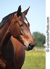Beautiful latvian breed bay horse portrait in summer
