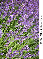Beautiful lavender blossoms in detail