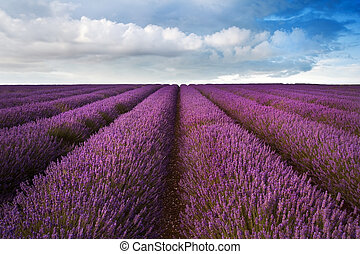 Beautiful lavender field landscape with dramatic sky