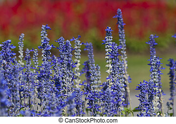Beautiful lavender flowers blooming in sunny day