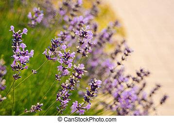 Beautiful lavender flowers in a summer garden.