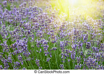 Beautiful lavender flowers in the rays of the setting sun