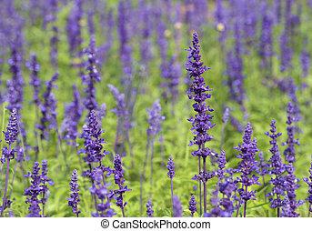 Lavender growing in garden - beautiful Lavender growing in...