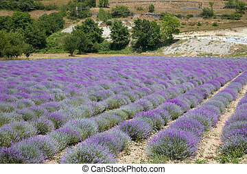 Beautiful lavender purple field in a sunny day