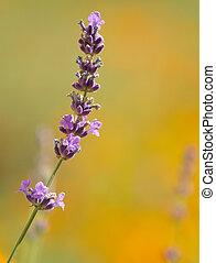 beautiful lavenders