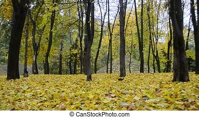 Beautiful leaf fall in autumn in a forest or park -...