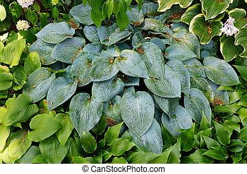 Beautiful leaves of blue hostas, a perennial plant
