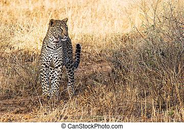 Beautiful Leopard in the Wild