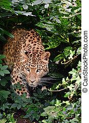 Beautiful leopard Panthera Pardus big cat amongst foliage -...