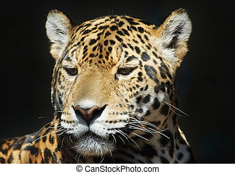 leopard - beautiful leopard