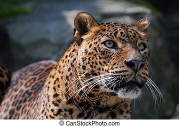 beautiful leopard - close-up of a beautiful leopard