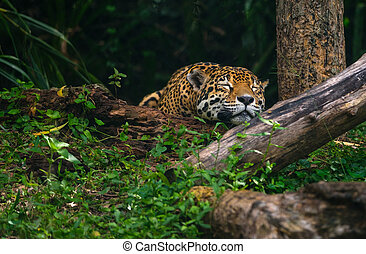 Beautiful leopard sleeping deep in the forest.