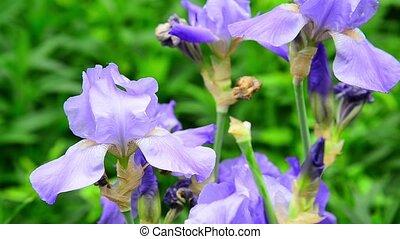 beautiful light blue irises on flower bed - beautiful light...