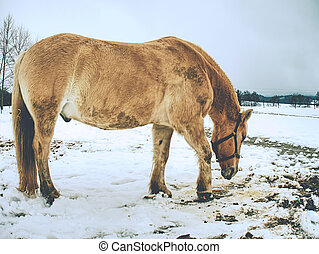 Beautiful light isabella horse in newly fallen snow looking