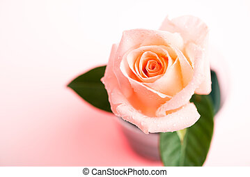 Beautiful light orange rose on white background