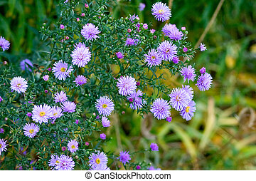 Beautiful lilac asters