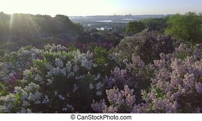 beautiful lilac branches swaying in the wind. Aerial view....