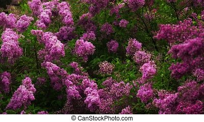 lilac branches swaying in the wind