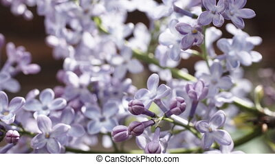 beautiful lilac branches