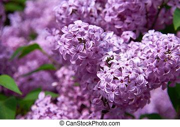 beautiful lilac closeup