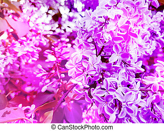 beautiful lilac flower background