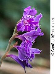 lilac flower of gladiolus