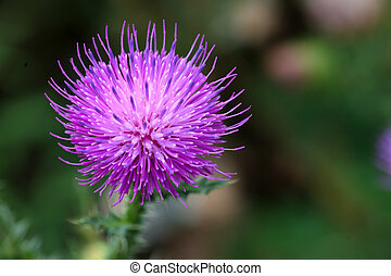 Beautiful lilac flower of thistle