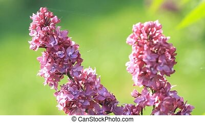 Beautiful lilac flowers blossom in springtime