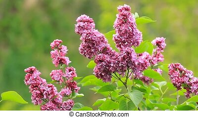 Beautiful lilac flowers blossom with the leaves