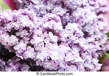 Beautiful lilac flowers close up