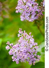 beautiful lilac flowers in garden