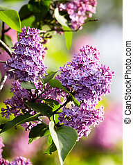 Beautiful lilac flowers in the nature