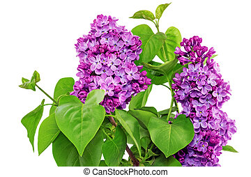 Beautiful Lilac in the Vase. Isolated over white.