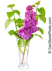 Beautiful   Lilac in the Vase. Isolated over white .