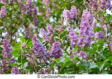 beautiful lilac on a background nature