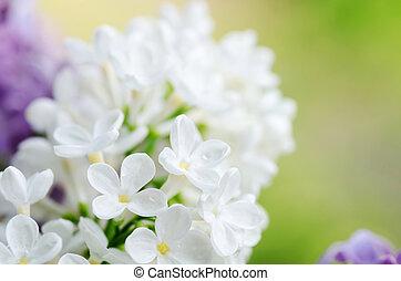 Beautiful lilac
