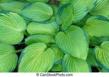 Beautiful lime green hostas, a perennial plant